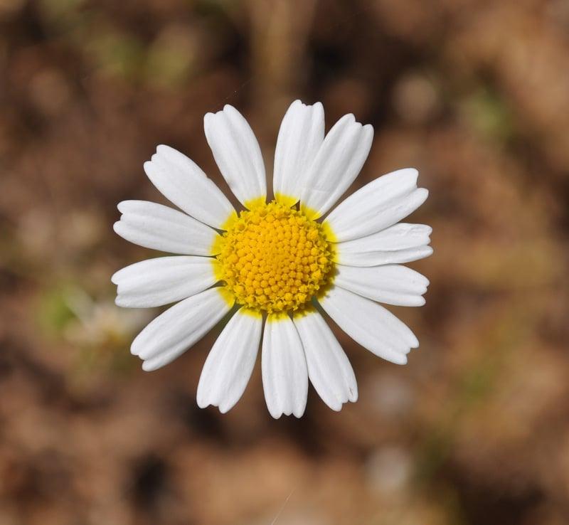 פריחת הקמומיל בישראל - מתמונותיו של עידו משעל - לבנדר קוסמטיקה טבעית