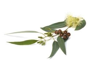 שמן אקליפטוס לימוני מעולה לטיפול בשיעול
