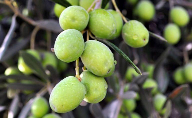 שמפו טבעי משמן זית ללא כימיקלים - לבנדר קוסמטיקה טבעית ורוקחות טבעית