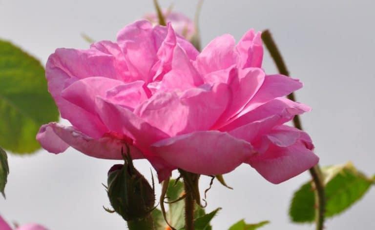 מי ורדים לפנים עם אלוורה - לבנדר קוסמטיקה טבעית